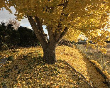 愛知県稲沢市|祖父江町のイチョウのある風景